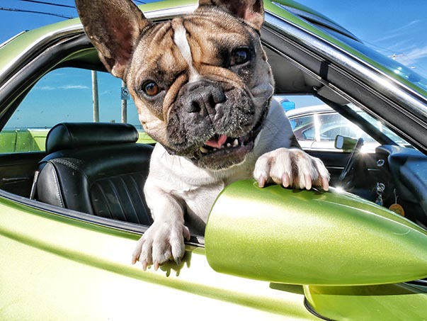 Dog hanging out of passenger window of a Dodge vehicle